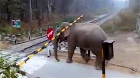 Watch a Young Elephant Make a Surprising Railroad Crossing
