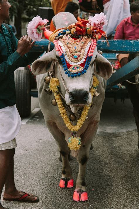 Why Is the Cow Important to Hindus? | The Importance of