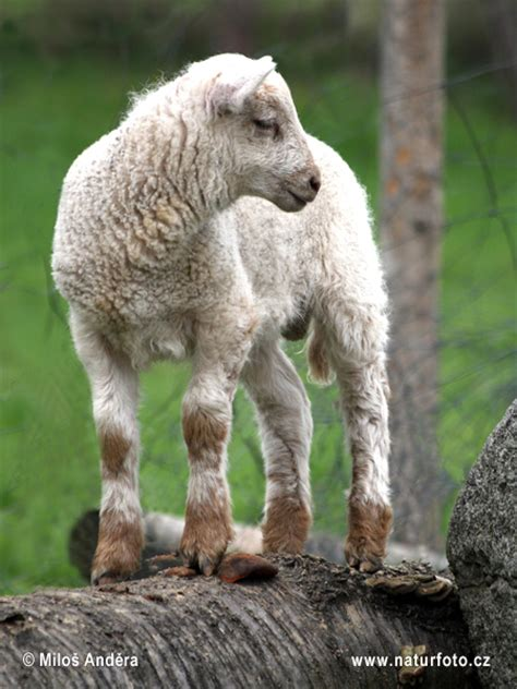 Ovis aries Pictures, Domestic Sheep Images, Nature