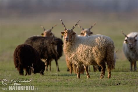 Ovis orientalis aries Pictures, Hungarian Screw-horned