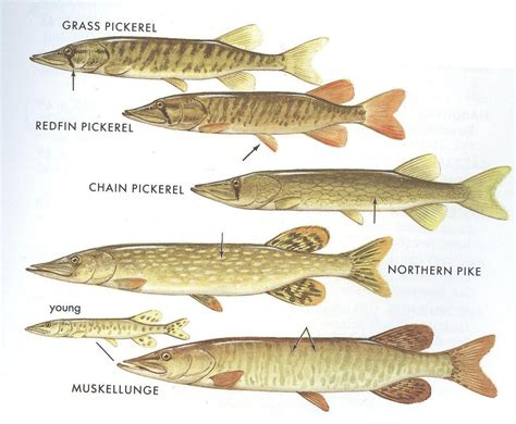 Fish of the Month: Pickerel & Pike by Carl Bruger (Article