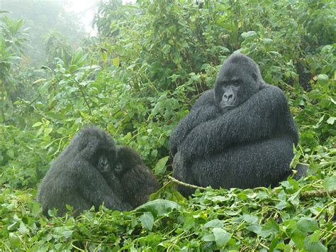 When is the best time to go gorilla trekking in Rwanda and