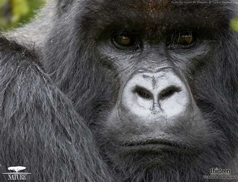 Animals Zoo Park: Gorilla Photos, Pictures, Wallpapers
