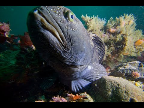 The Atlantic wolffish is being driven to extinction