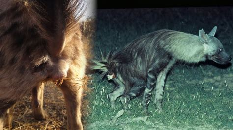 For Hyenas, Bacterial Butt Paste is Like a Status Update